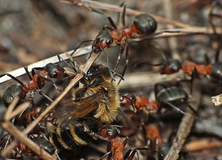 Widzew 12.04.2013 Innej grupie trafiła się pszczolinka
