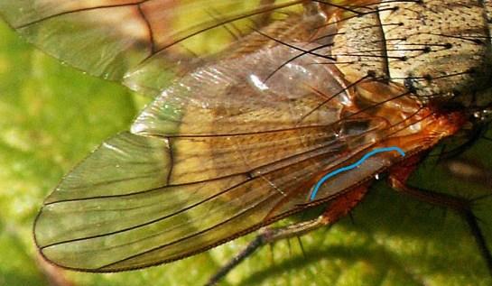 Skrzydło - Niebieską linią zaznaczyłem żyłkę przy nasadowej, zewnętrznej krawędzi skrzydła (mediastinal vein) o sinusoidalnym kształcie; w tym przypadku nie jest to akurat tak ewidentne, jak u wielu innych gatunków z rodzaju