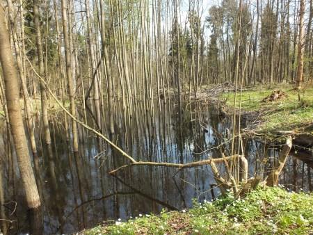 Częściowo zalany las koło Ciebłowic Małych - sprawka bobrów