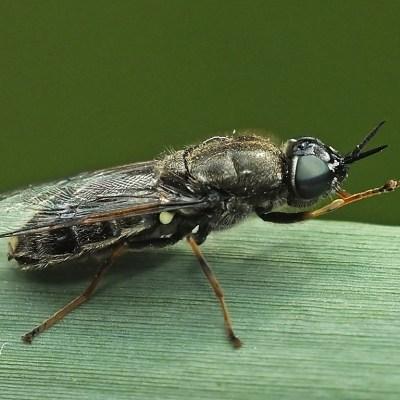Odontomyia tigrina