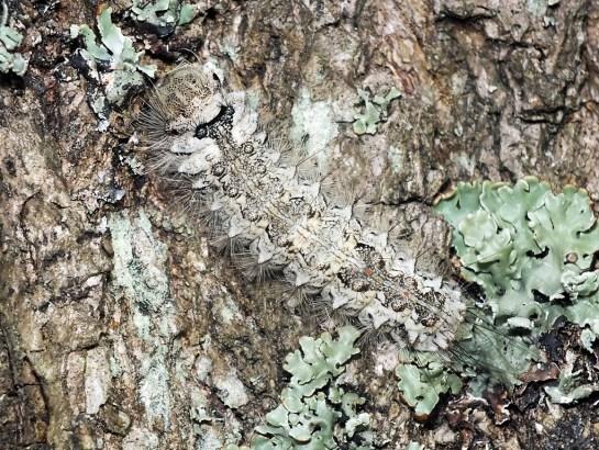 Rezerwat Magazyn ( Lubelskie ) 23.07.2015 Maskujące ubarwienie pozwala doskonale zlać się z tłem - tutaj pień sosny