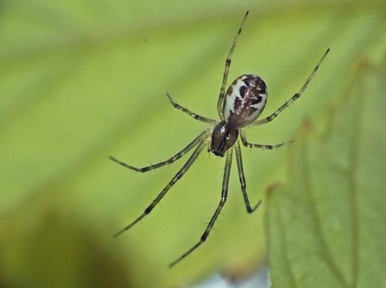 L.triangularis