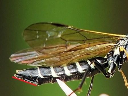 Samica - czerwona linia koniec spodniej strony odwłoka ( oblong plate ) i krótkie, niewiele wystające poza ostatni tergit pokładełko leżą wzdłuż tej samej płaszczyzny