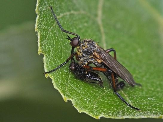 E.opaca