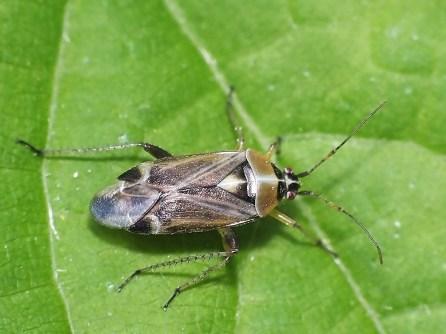 H. thoracica