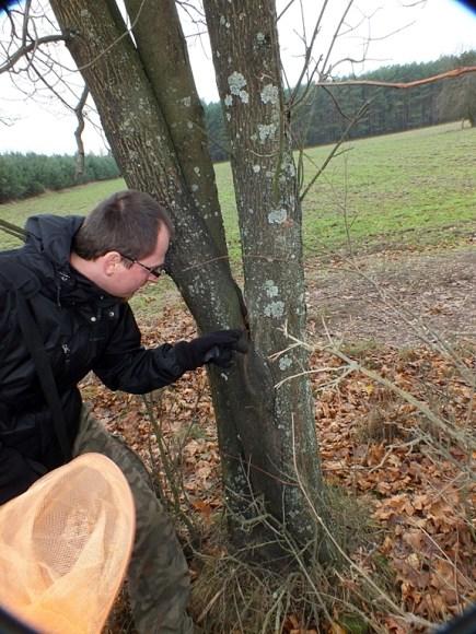 Ceteń 12.11.2015 Dziuple nie muszą znajdować się na starych, potężnych drzewach - Łukasz Mielczarek pokazuje niewielką, choć głęboką dziuplę, w której znalazł larwy Spilomyia