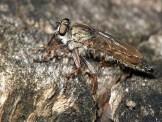 T atricapillus