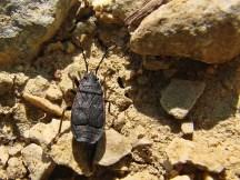 P.marginatus
