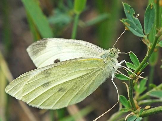 P.rapae