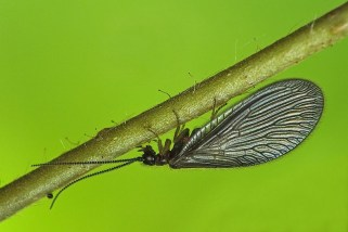 S.nigra