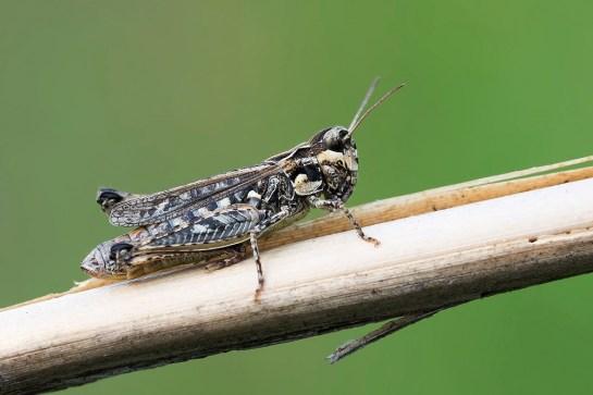 M.maculatus