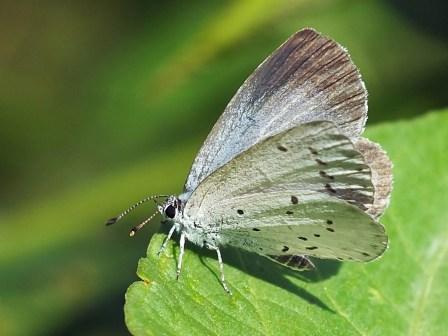 C.argiolus