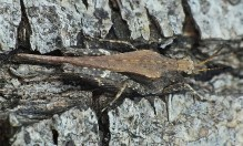 T.subulata