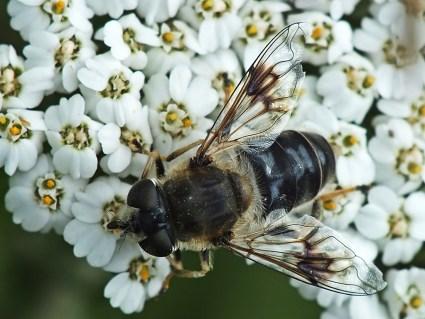E.alpina