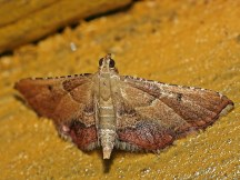 E.flammealis