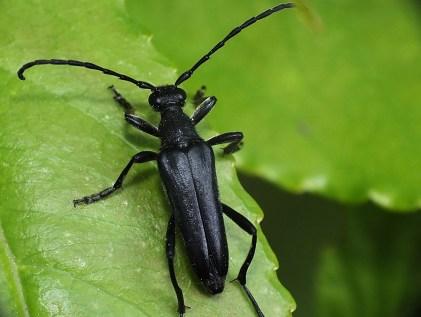 L.aethiops