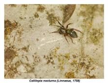 C. nocturna
