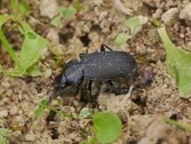 L.depressus