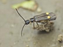 Malthodes species