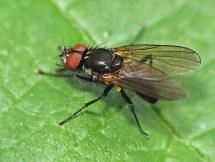 Strobilomyia species