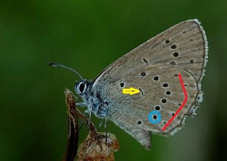 Spód skrzydła. W niebieskiej obwódce diagnostyczna plamka, która znajduje się bliżej przepaski zewnętrznej ( czerwona linia ), niż plamki dyskoidalnej ( wskazuje ją żółta strzałka )