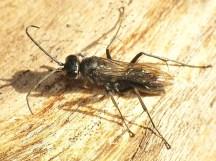 A. carbonarius female