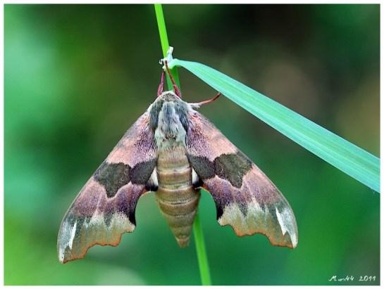 M.tiliae