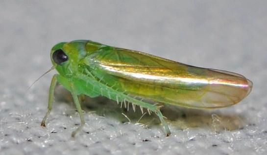 Kybos species