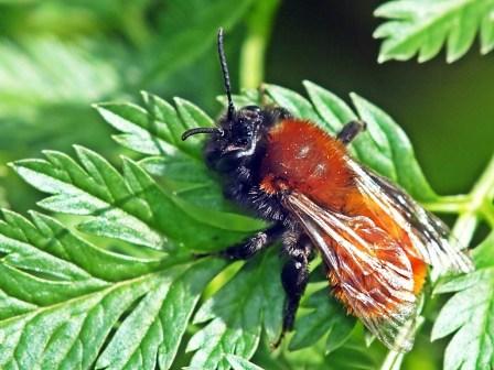 A.fulva