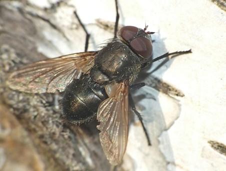 Pollenia species