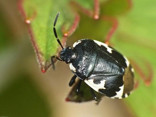T.bicolor