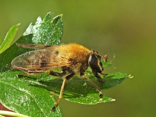 C.asilica