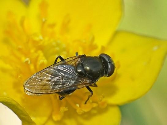 Melanogaster