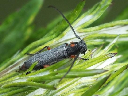 P.virgula