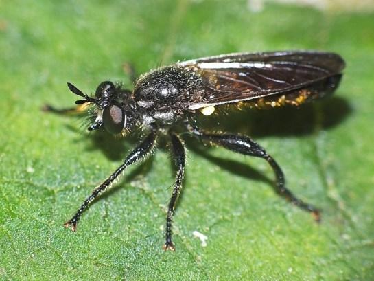 C.femorata