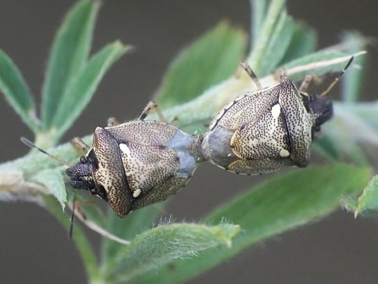 E.aeneus mating