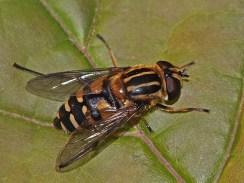 Hal.affinis