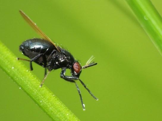 L. cylindricornis