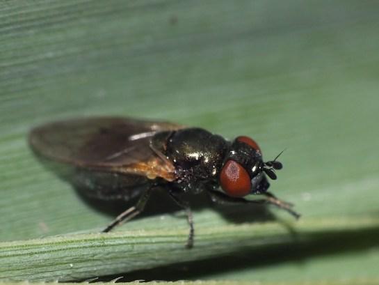 Lejogaster.
