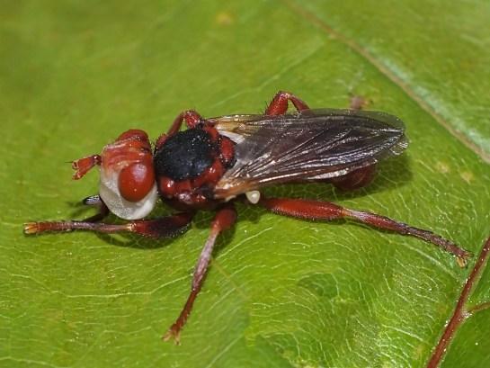 M.dorsalis