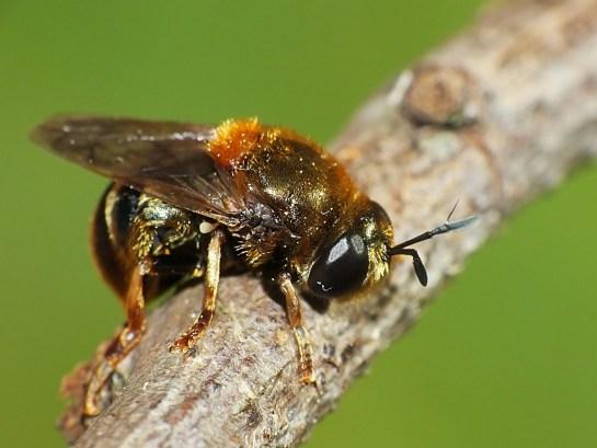 M.myrmicae