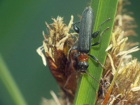 O.croceicollis