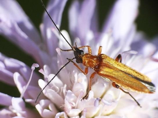 Oedemera female