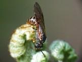 S.multifasciata