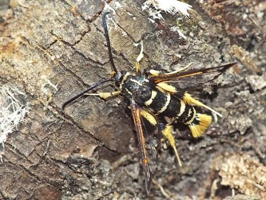 S vespiformis female
