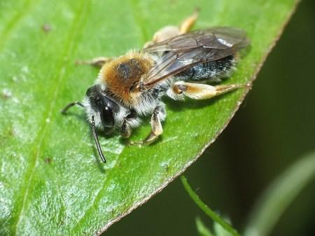 A.haemorrhoa