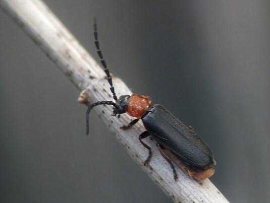 C.ruficollis