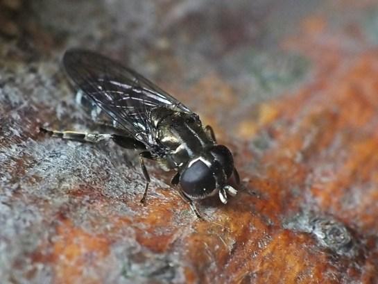 E.ornatus