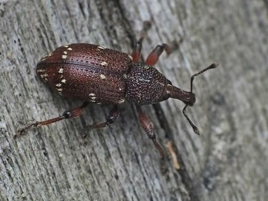 H.transversovittatus
