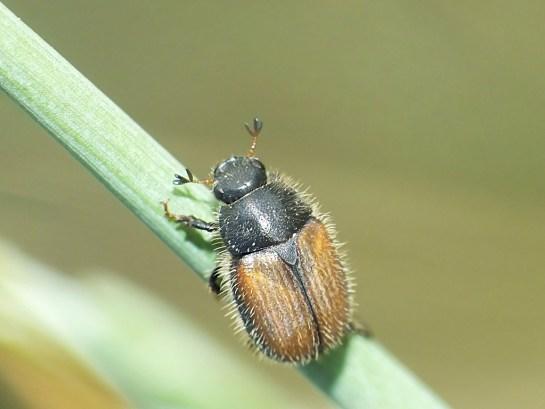 O.nigromarginata